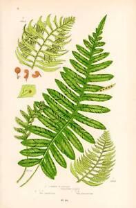 1898 Authentic Fern Print Antique Chromolithograph
