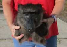 Real Vervet Male Baboon shoulder mount12 inches tall Taxidermy
