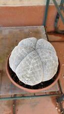 Astrophytum Myriostigma cv Onzuka MIX 20 semi Seeds Cactus succulent