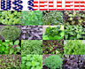 ORGANICALLY GROWN Basil Seeds Heirloom NON-GMO Tulsi Thai Genovese Opal Greek US