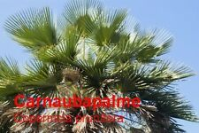 ***Carnauba - Wachs, Carnauba (Cera carnauba) 100 g, Schuppen, Brasilien