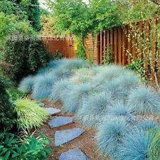 100PCS Blu festuca semi sementi erba-Festuca Glauca-erba perenne Fiori