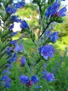 Echium vulgare NATTERNKOPF über 100 Samen Wildpflanze Bienenweide