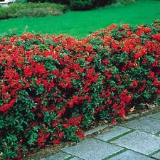 Red Evergreen Firethorn**PYRACANTHA*/ 35-Finest Seeds/Artificial Fence/UK