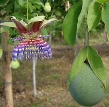RARE 4 graines de POMME CALEBASSE(Passiflora maliformis)K75 SEEDS