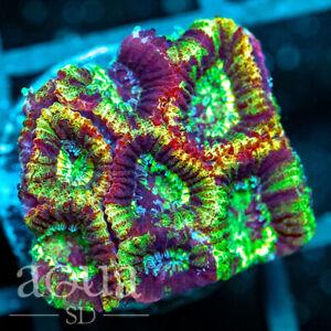 ASD - 001 Rocky Rainbow Favia - Aqua SD Live Coral Frag