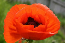 TULIP POPPY    50 SEEDS   *  Papaver glaucum   *    ! Easy!