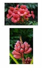 EXOT Frucht Blüten Samen Pflanze exotisch ROSA BANANE KLETTER-TROMPETE Exot