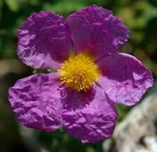 Cistus creticus Rock Rose 10 seeds