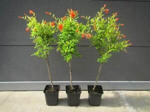 Punica granatum 'NANA' - Mini-Stamm - Zwerg-Granatapfelbaum - Pflanze 40-50cm