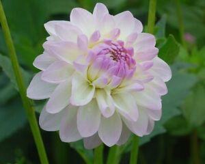 2 Dahlia Wittem White Summer Flowering Hardy Perennial Garden Bulb Plant Tubers