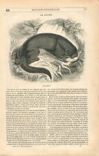 Loutre d'Europe Lutra lutra mammifères carnivores semi-aquatiques GRAVURE 1839