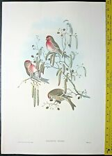Larg hand colored Gould lithograph of a  Red-poll bird,Aegiothus linaria,ca.1850