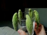 Toller Papageienbaum - Als Zimmerpflanze & für den Garten (winterfest) / Saatgut
