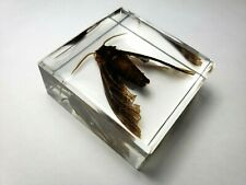POPLAR SPHINX. PACHYSPHINX OCCIDENTALIS. Embedded in clear casting resin.