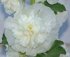 30+ White Double Hollyhock Alcea Rosea / Perennial Flower Seeds