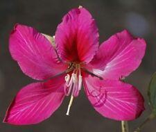 10 Samen Schmetterlings-Bauhinie (Bauhinia purpurea) Orchideenbaum, tolle Blüten