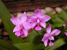*UNCLE CHAN* 3 Bulb Pink Purple Spathoglottis Rare Ground Orchid Flower Fresh