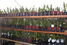 Epiphyllum, Orchid CactuS , Special order sku# , Don's Quart pots