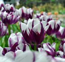 5 Bulbous-root Flower Tulips, Flower of Common Tulip bulb F COLOR 19