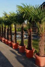Palmen-Bäume für volles Sonnenlicht