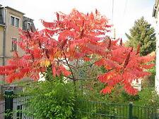 ca. 100 Samen des Essigbaumes