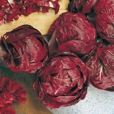 Suffolk Herbs - Chicory Rossa di Treviso - Organic - 400 Seeds