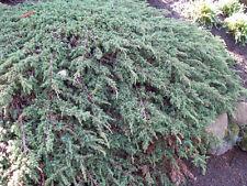 Teppichwacholder Juniperus communis Green Carpet 20-30cm Bodendecker Nadelgehölz