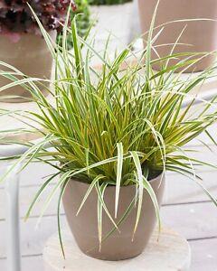 Carex morrowii EverColor® 'Everglow'  x  9cm Pot