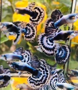 QUALITY GUPPY FISH PURPLE BLUE MOSAIC 5 PAIRS  (5MALES+5FEMALES)