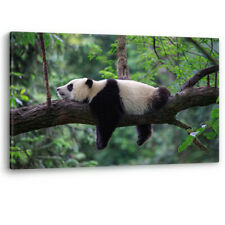 Panda Bear Sleeping in a Tree China Large Canvas Wall Art Picture Print A0 A2 A4