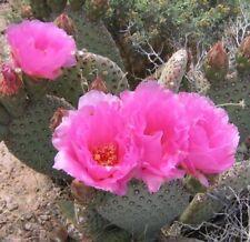 Opuntia basilaris Beaver Tail Cactus Pink Flowers 1 Pad
