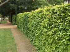 Semi-evergreen Shades