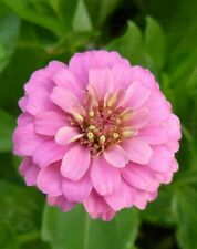 250 Luminosa Pink Zinnia Elegans Flower Seeds + Gift