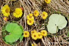 Tussilago farfara, Coltsfoot 200 seeds Organic, Medicinal, homeopathic, healthy