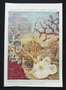 Vintage Print: Coral by Maude Scrivener, Cassell's Book of Knowledge, 1922