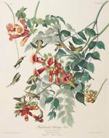John James Audubon Ruby Throated Humming Bird Giclee Paper Print Poster