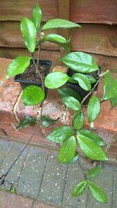 Hoya Carnosa Wax Plant Established Potted Plant