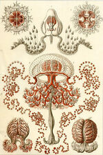 Ernst Haeckel Art Forms of Nature Anenome Jellyfish Mollusk Crustacean 18x24 new