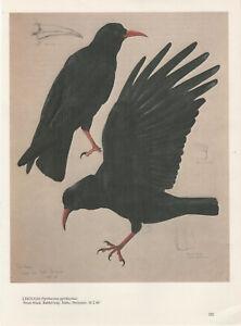 Lovely Tunnicliffe Bird Print -  Chough (Pyrrhocorax pyrrhocorax)
