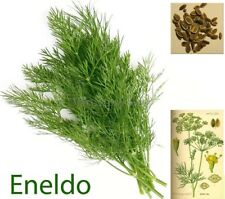 Eneldo ( Anethum graveolens ) 500 semillas - seeds