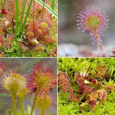 120 Samen des Sonnentau Fleischfressende Pflanze Drosera Karnivore Pflanze