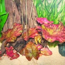 -Buy 2 Get 1 Free- Red Tiger Lotus Lily Bulb Planted Live Aquarium Plants Easy