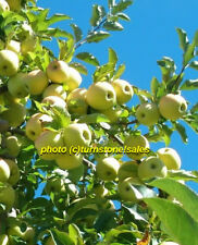 "Lot 6 Golden Delicious Apple Tree Cuttings for Rooting & Grafting 18"" Inch Long"
