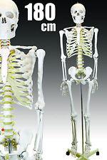 Lifesize Human Anatomical Skeleton Model Brand New
