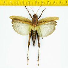 Orthoptera sp ( Spread ) - Tapah Hills - MALAYSIA - 0196