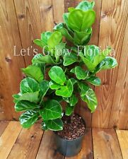 "Fiddle Fig, 3 Gal / 10"" Pot Ficus lyrata Live Tropical House Plant Tree"