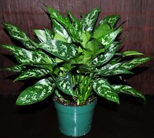 BEAUTIFUL 8' Aglaonema 'Maria' Chinese Evergreen Excellent Tropical Houseplant