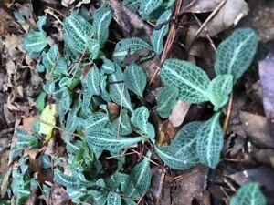 5 Rattlesnake Orchid (Goodyera Pubescens)