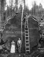 Vintage Redwood Sequoia Logging Photo Big Logs People & Man on Ladder California